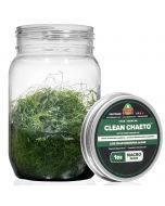 CleanChaeto - Live Chaetomorpha Algae - AlgaeBarn