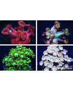 Goniopora Live Coral Pack