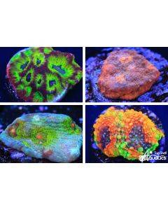 LPS Live Coral Pack