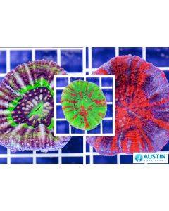 Scolymia Live Coral Pack