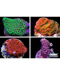 SPS Live Coral Pack