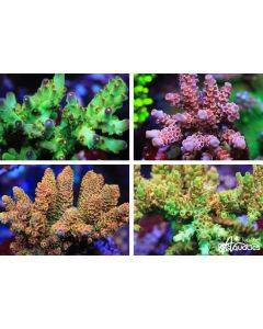 BRS Exclusive - New Release - Acropora Live Coral Pack