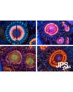 Zoanthid Live Coral Pack