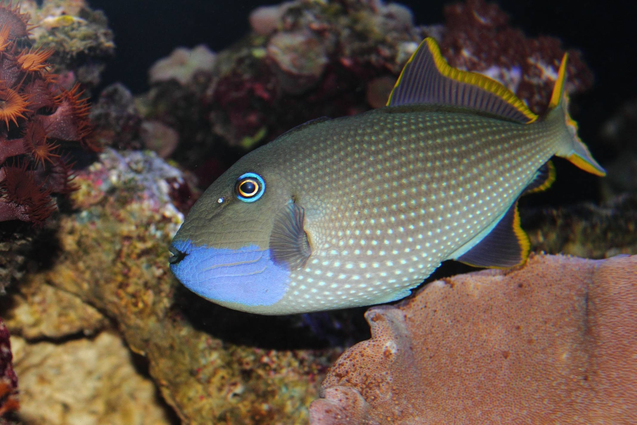 Fish Facts with Quality Marine, Episode 1 - Reef Safe Triggerfish