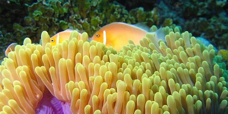 Skunk Clownfish Anemone