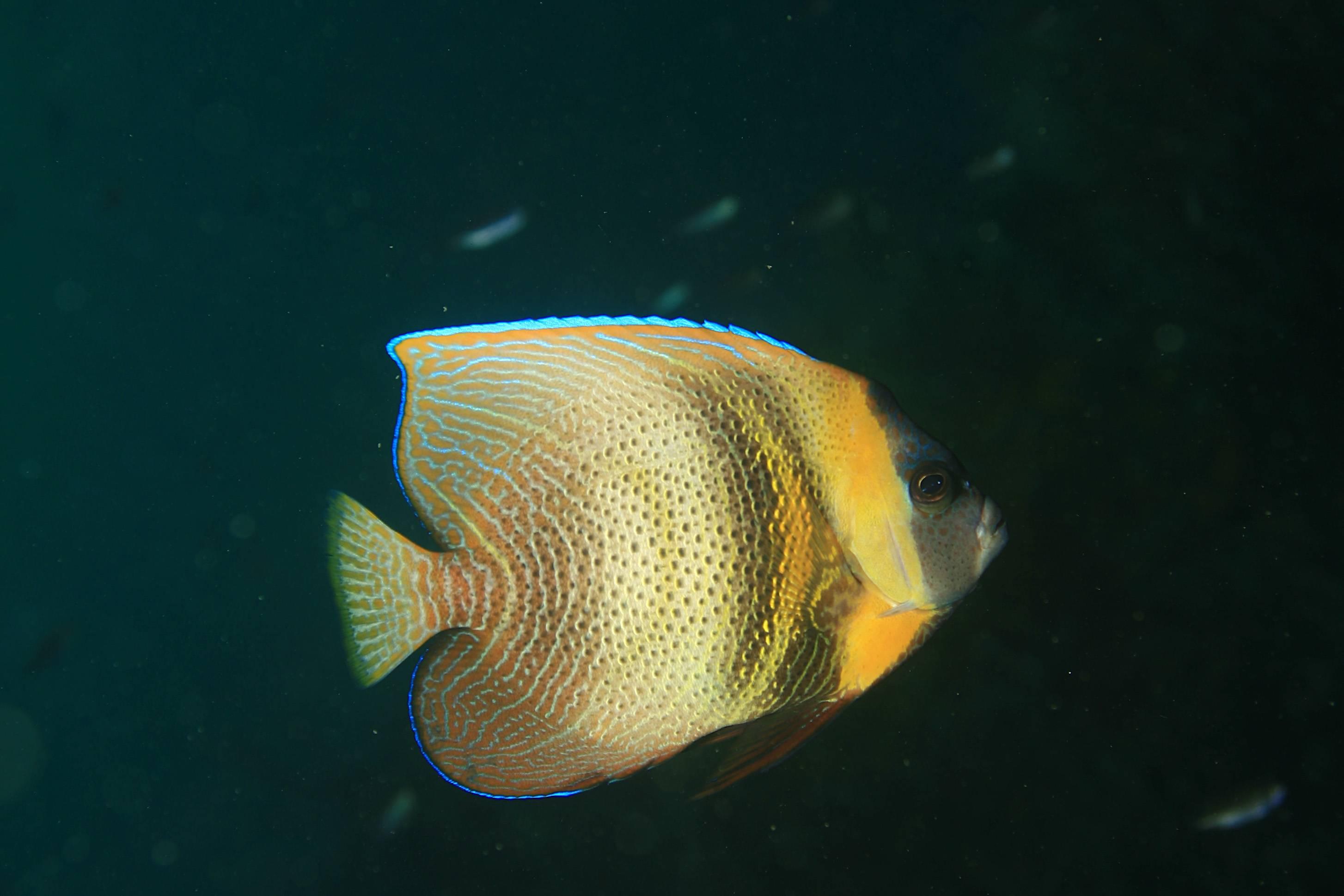 Adult Cortez Angelfish