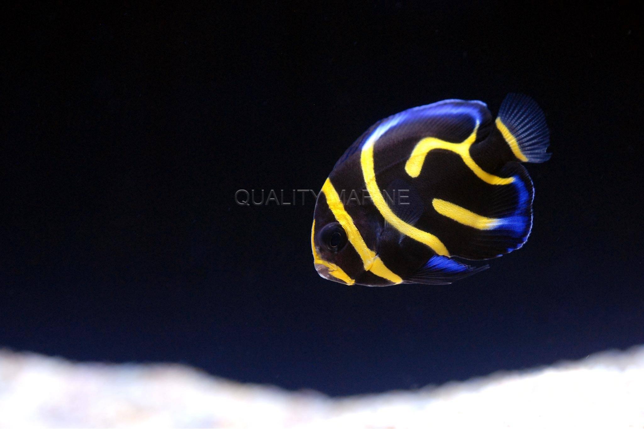 Juvenile Cortez Angelfish
