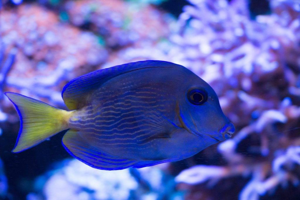 Atlantic Blue Tang in an aquarium.