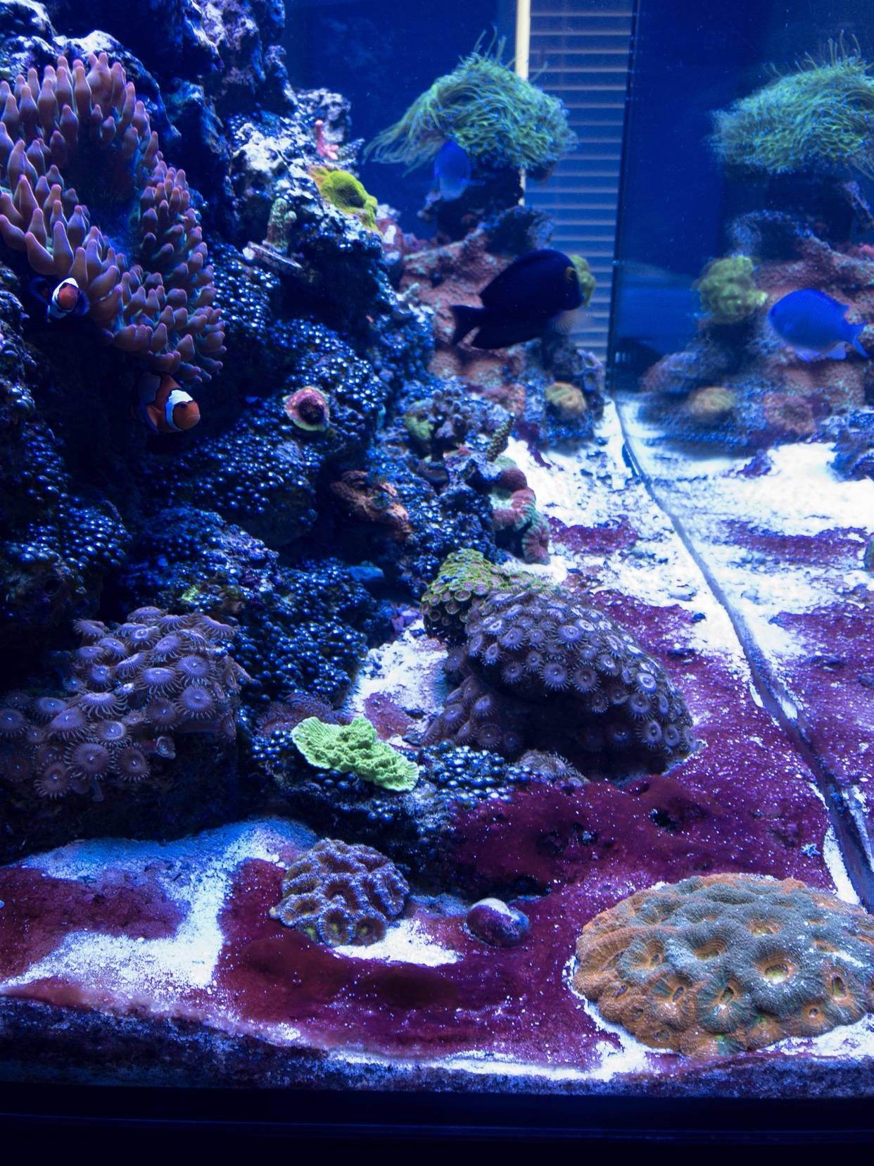 Red Slime!!! - Reef Tank Pest Control #3: How to Get Rid of Cyanobacteria