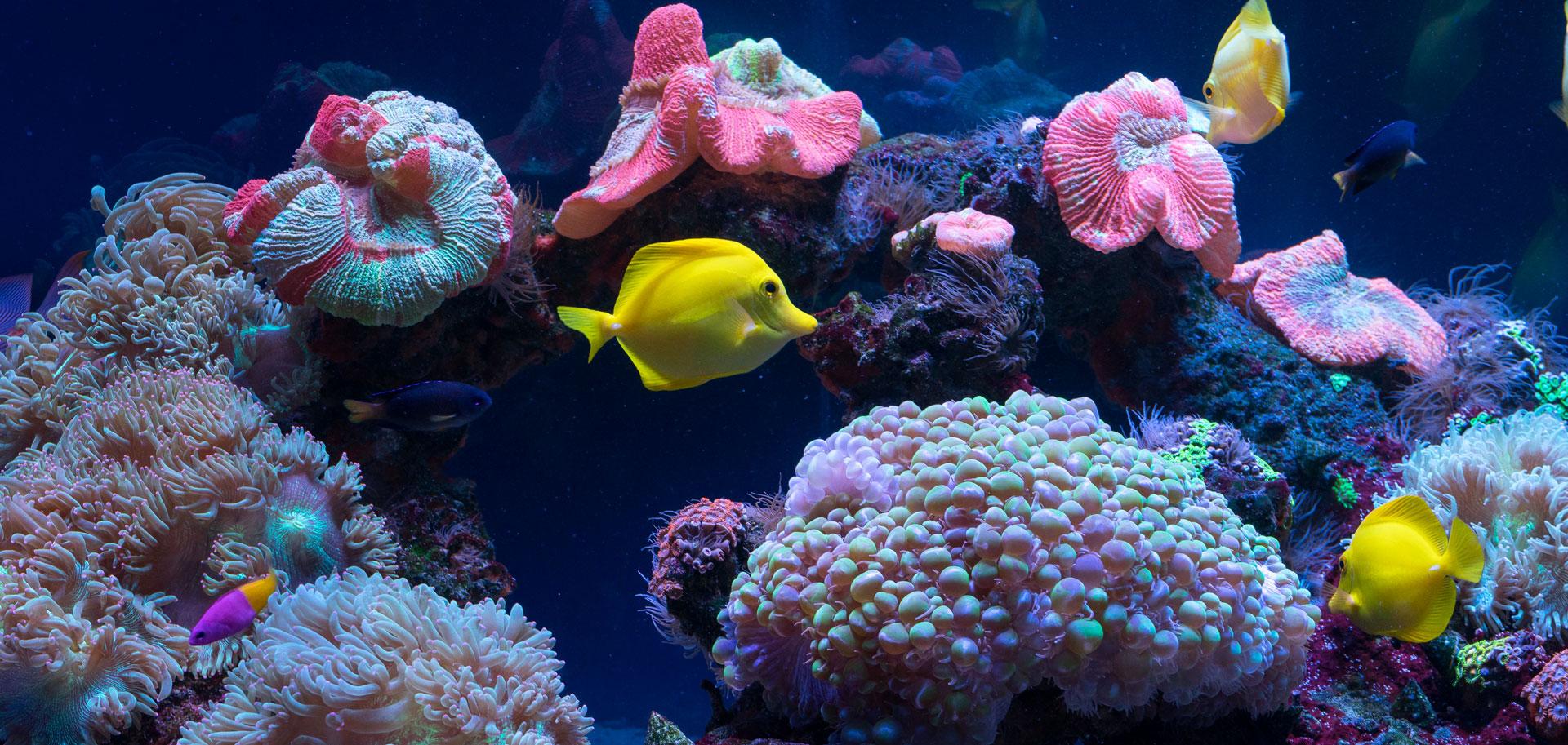Reef Aquarium Yellow Tang