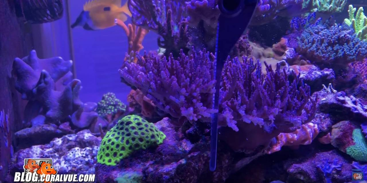 Coral hand saw cutting acropora coral underewater