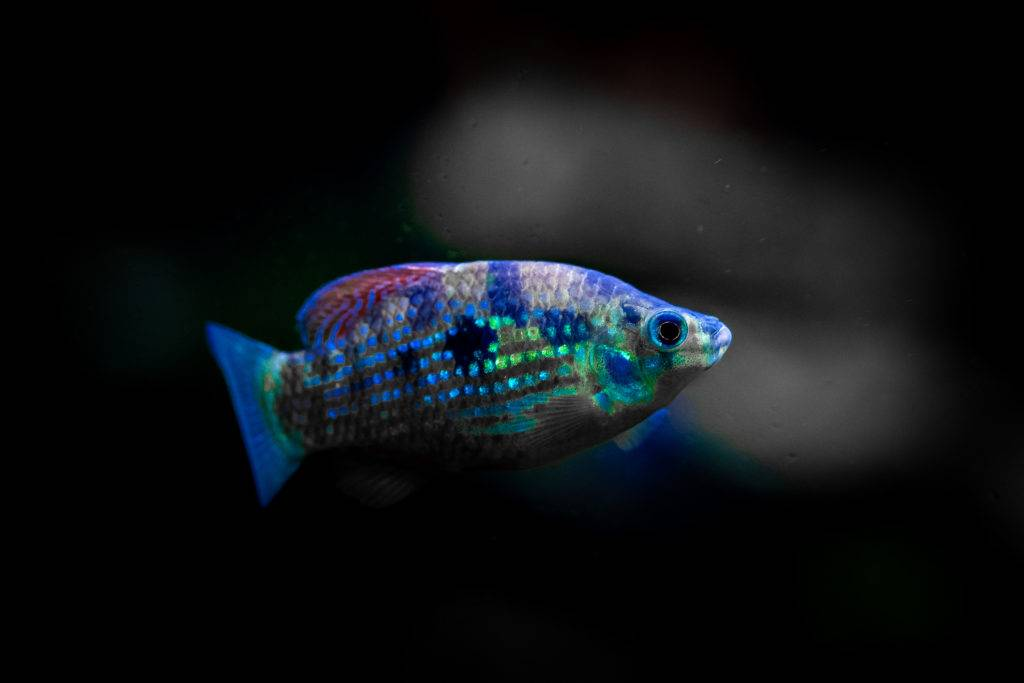 Freshwater Florida Flag Fish by Jimmy Gimbal