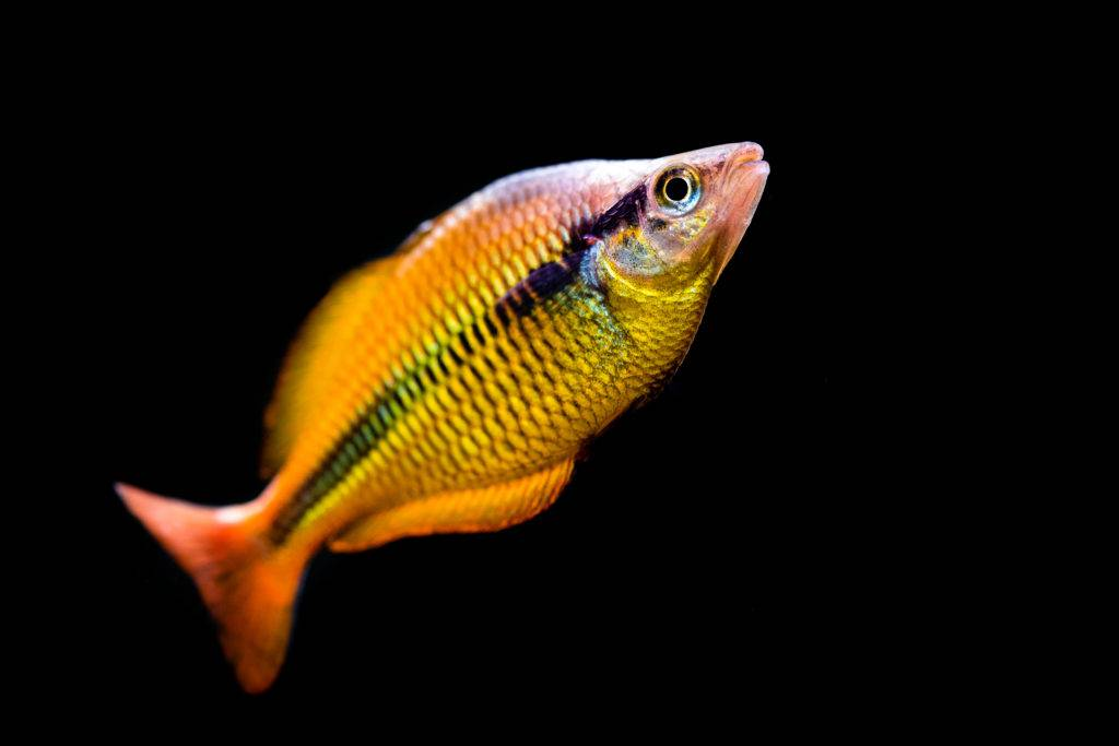 Freshwater fish by Jimmy Gimbal