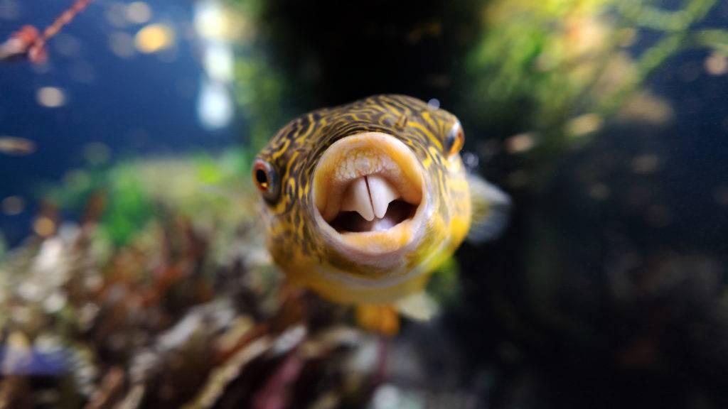 Pufferfish teeth by Jimmy Gimbal