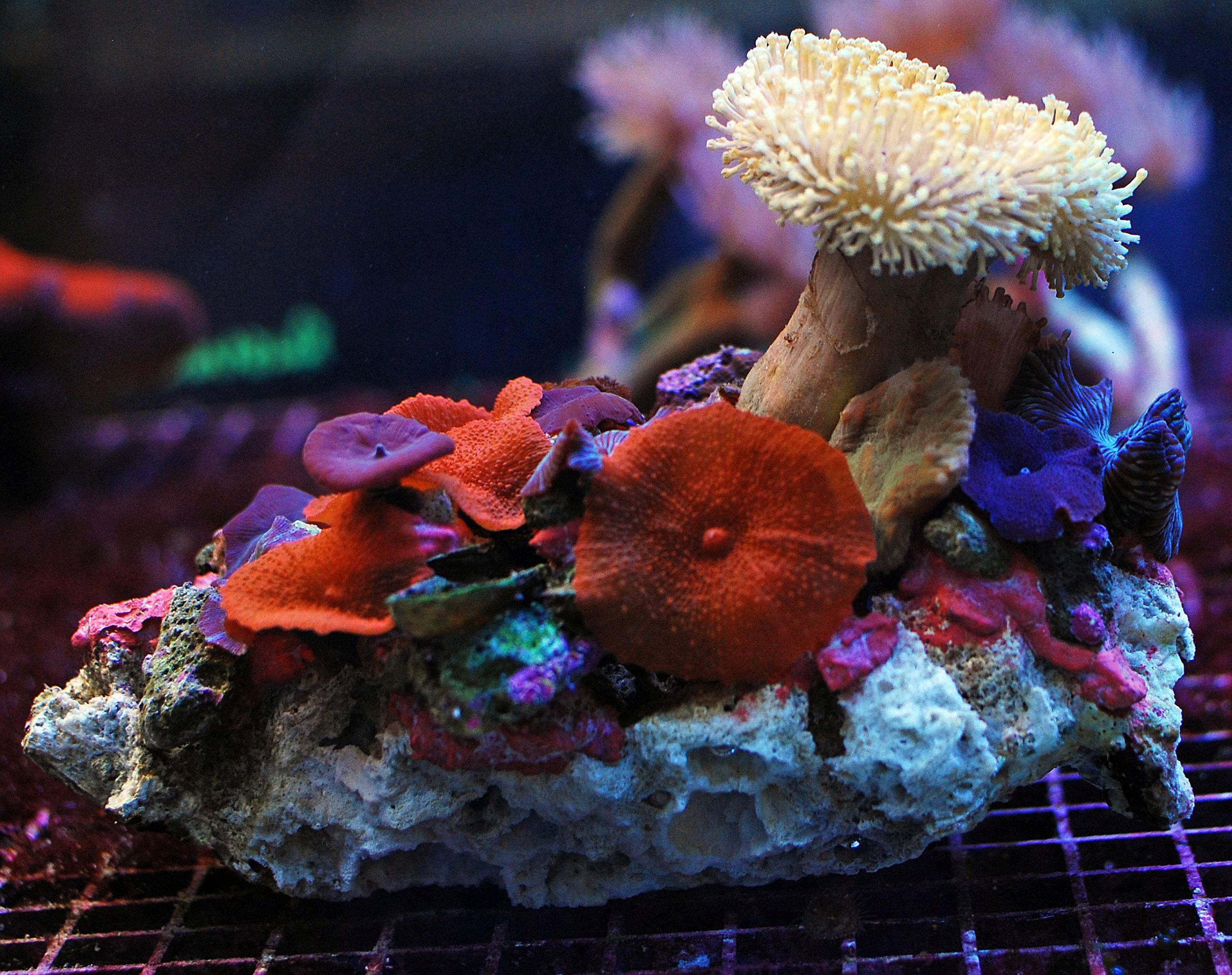Corals for Beginners: Cutting your Teeth in Reefkeeping