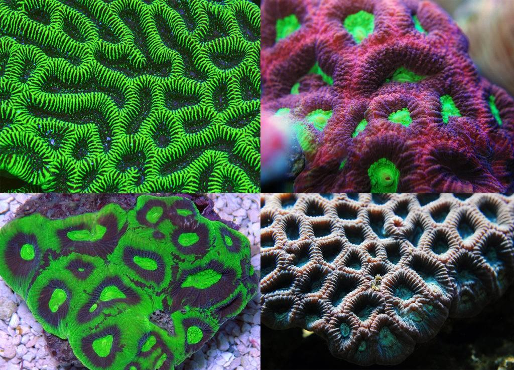 Various Brain Corals