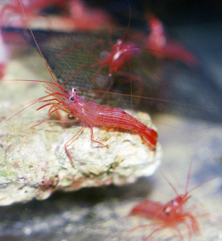 Peppermint Shrimp to get rid of aiptasia