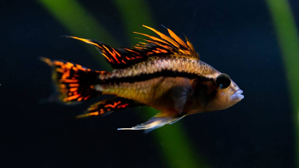 jimmy gimbal freshwater fish picture
