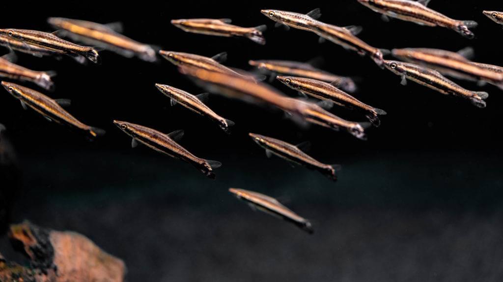 jimmy gimbal pencil fish