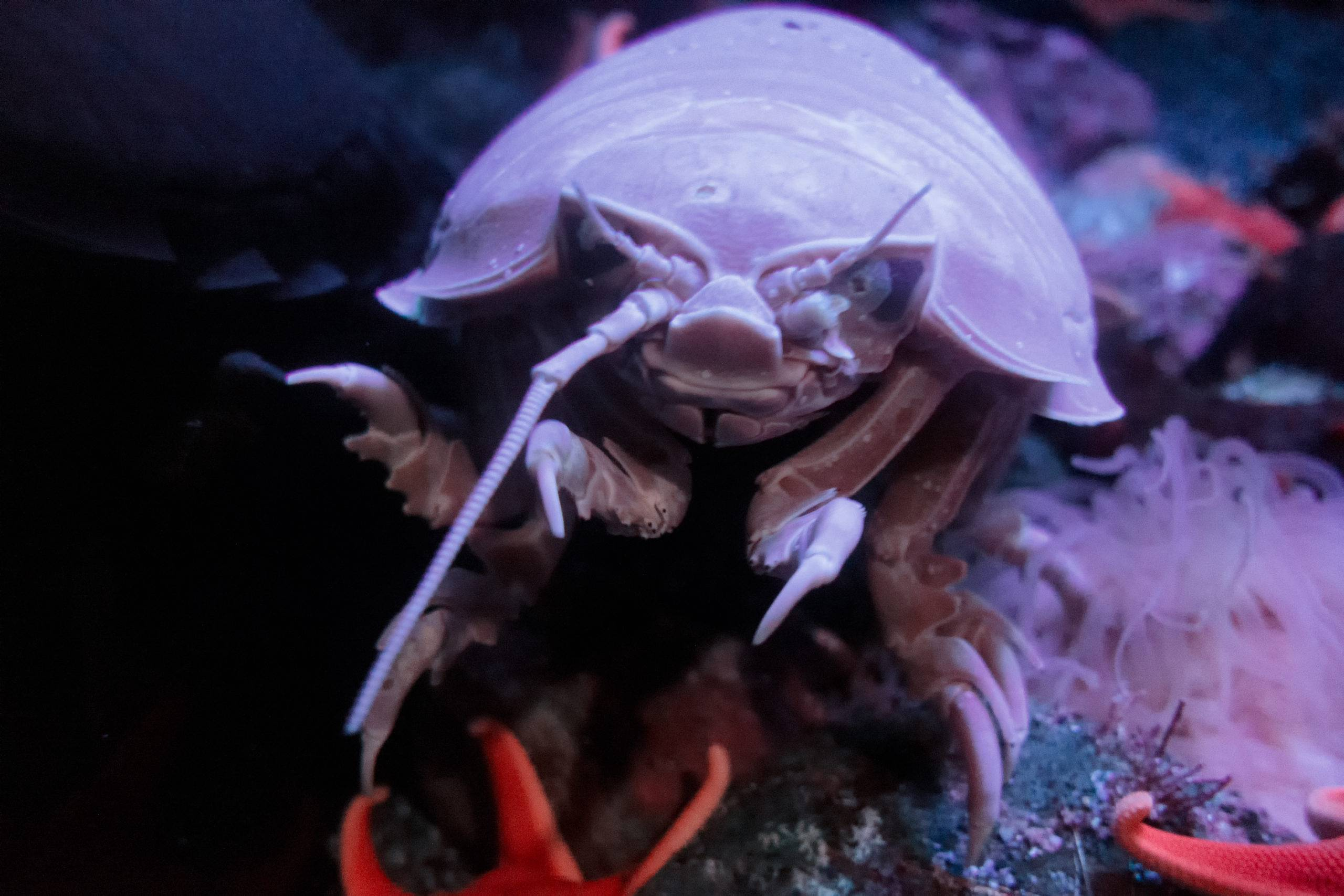 Giant isopod poops for the first time in two years