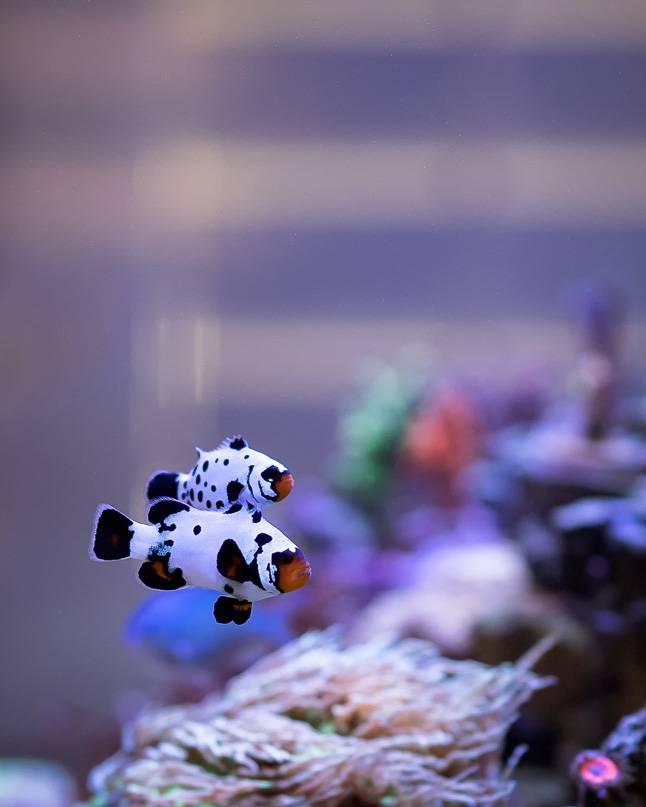 tran phan clownfish