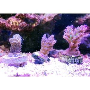 Buying a Healthy Coral Frag: A Beginners Guide