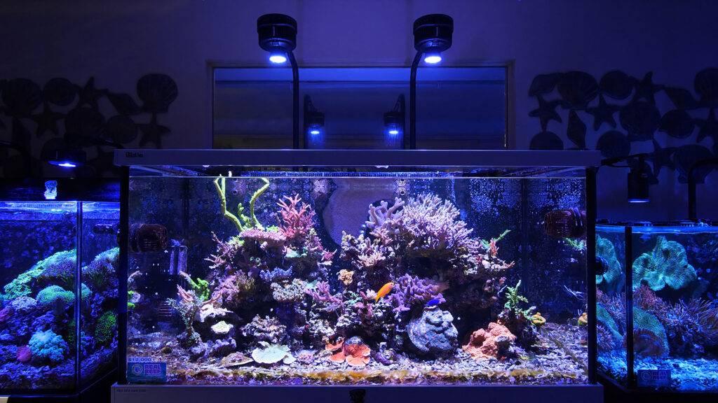 Two Kessil A500x's above an SPS dominant aquarium