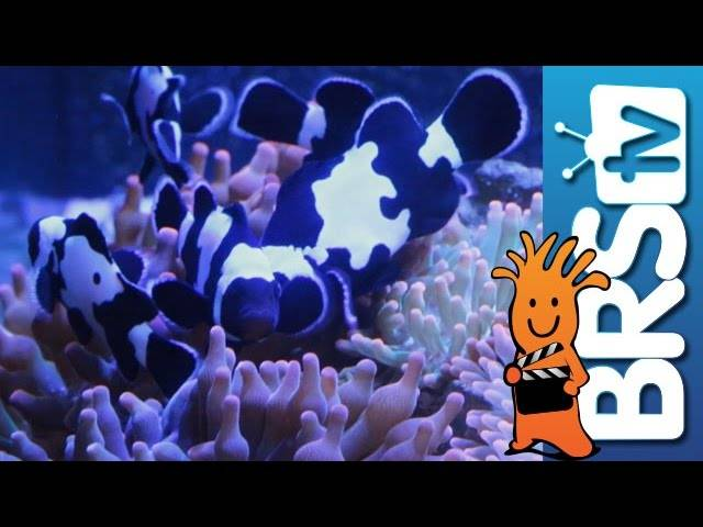 Adding Anemones to our Lobby Tank | EP 4: Clownfish Harem Tank #clownharemtank