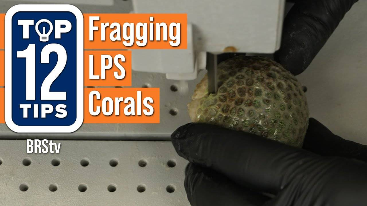 Watch Video - Top Tips For Fragging LPS Corals