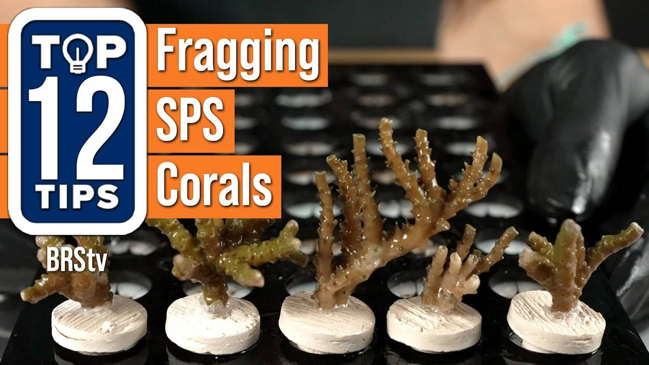 Top 12 Tips For Fragging SPS Corals