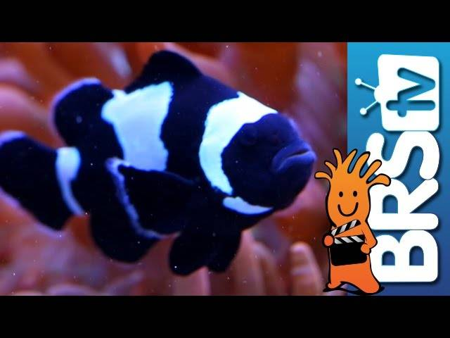 The Clownfish Harem tank is 2 years old! | EP 7: Clownfish Harem Tank #clownharemtank