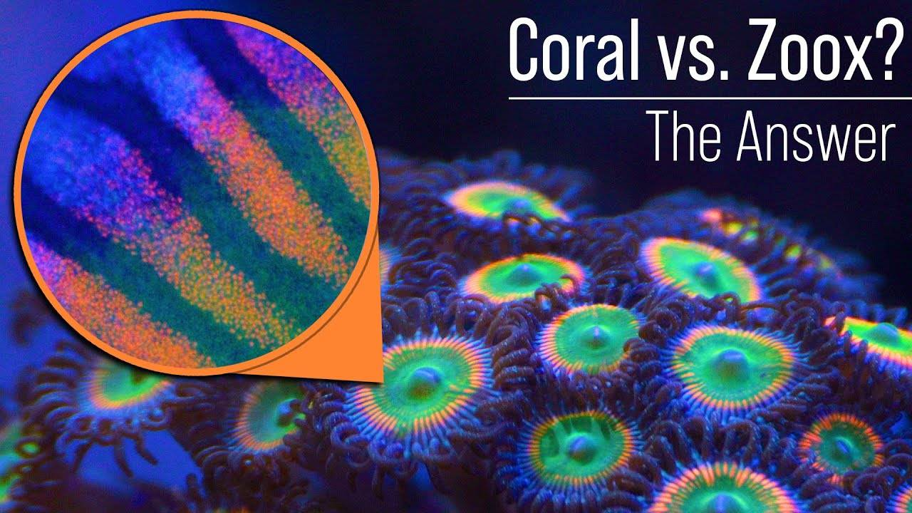 Coral (Animal) vs. Zooxanthellae (Algae)? Care and Nutrient Needs? Likely Not What You Think