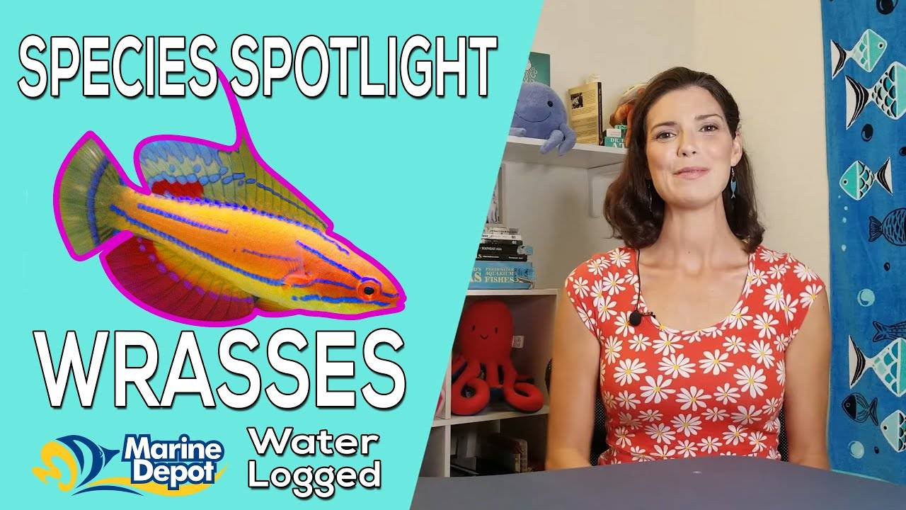 """""""All about Wrasses!  Species Care"""