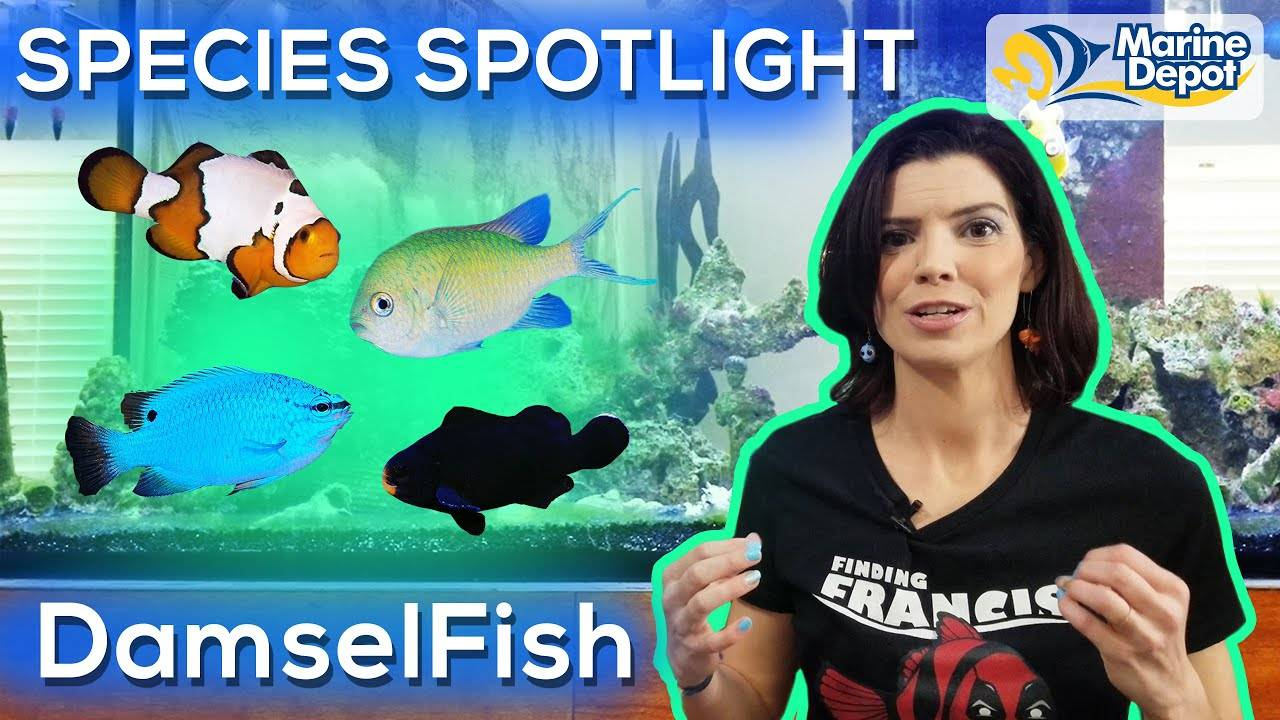 Species Spotlight | DamselFish (and Other Types of Pomicentridae)