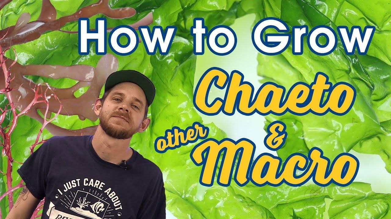 """How to Grow Chaeto Algae and Other Macroalgae Like a PRO | Lighting"