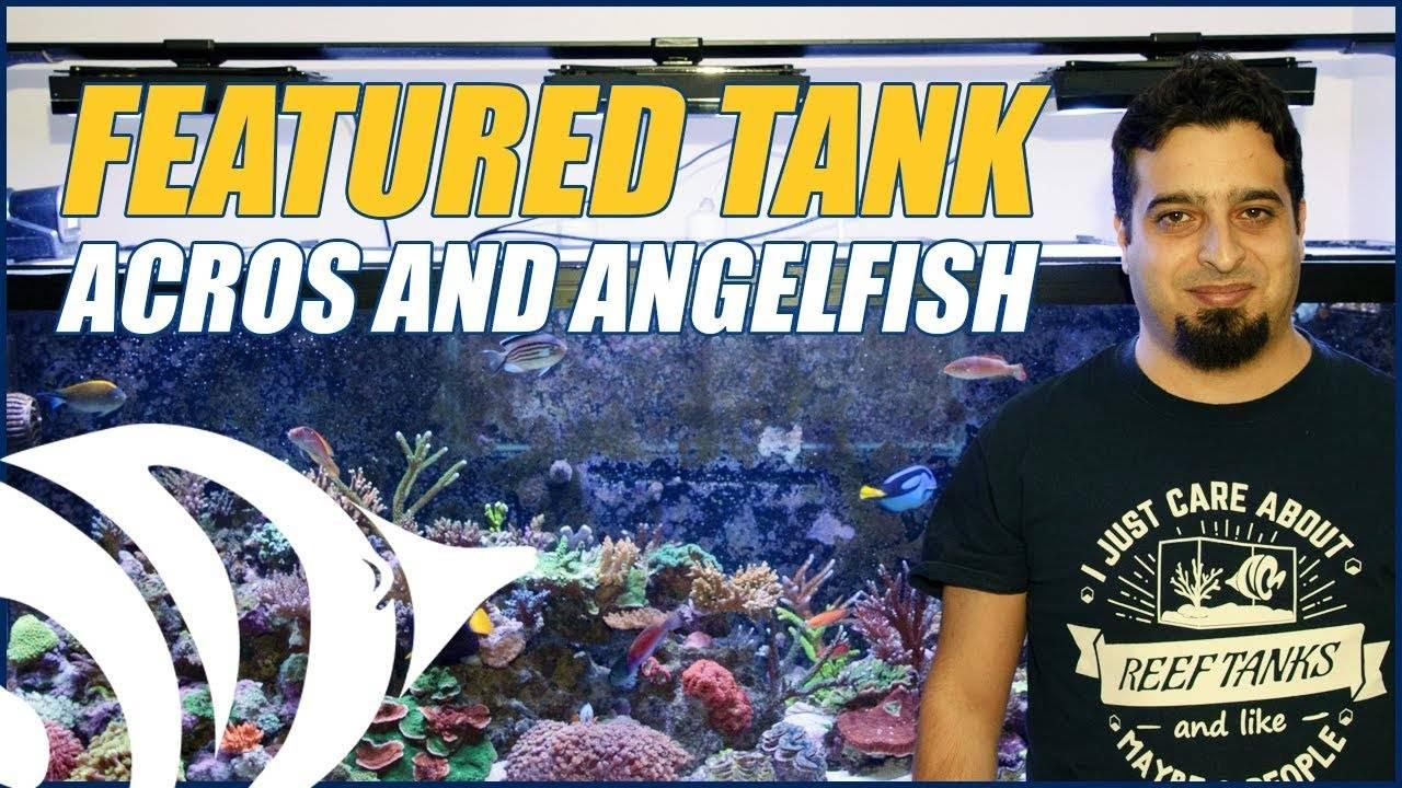 Fadi's 180 Gallon Acropora and Angelfish Reef Aquarium - NEW FEATURED TANK
