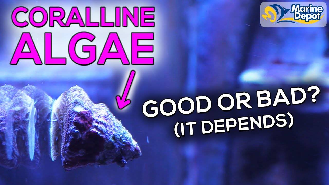 How To Grow Coralline Algae In Your Aquarium | Where You Do and Don't Want It In Your Reef Tank