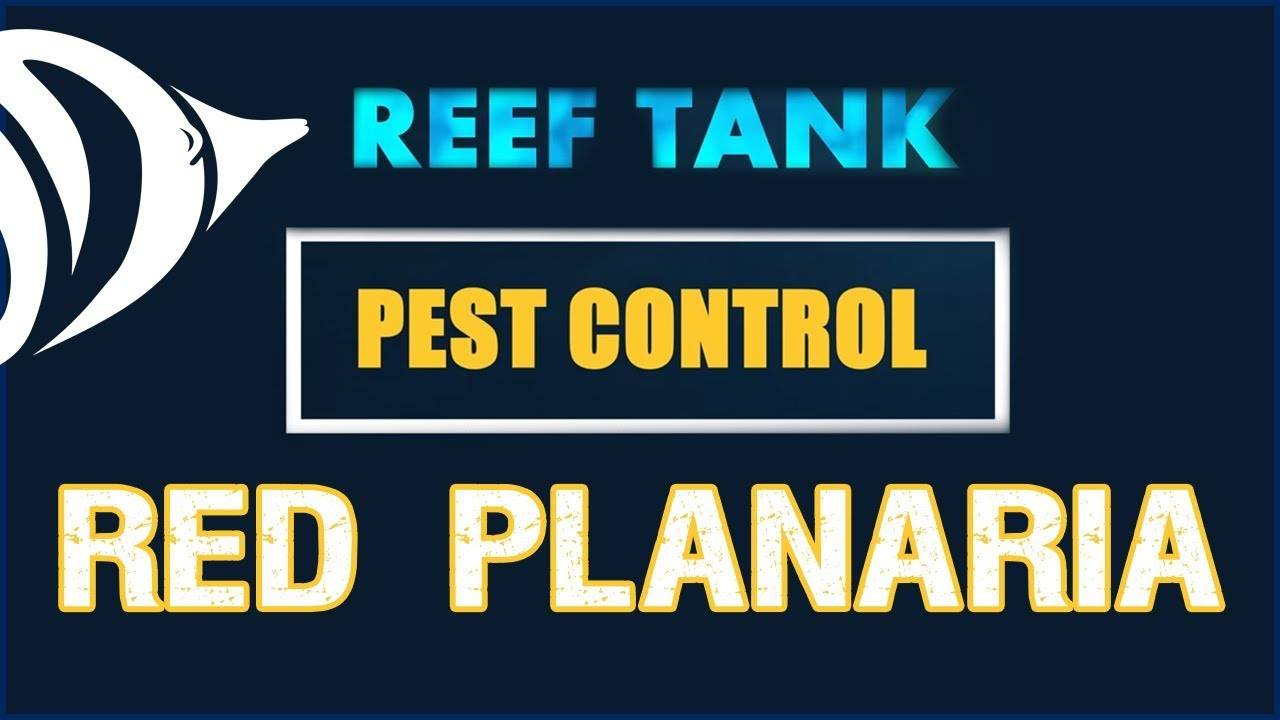 FLATWORMS!!! - Reef Tank Pest Control #2: Get Rid of Red Planaria