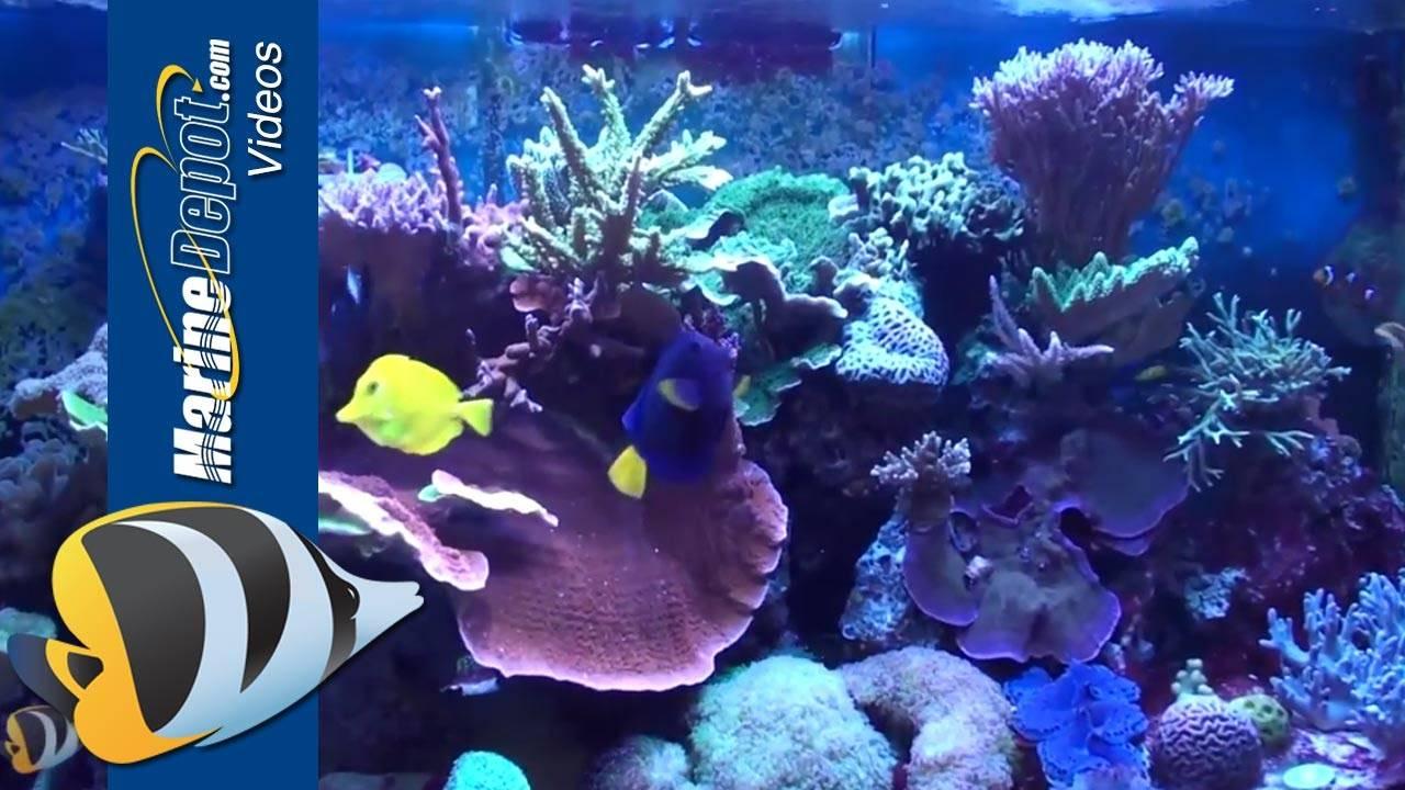Marine Depot Featured Tank: Adnan's SPS Dominate 150 Gallon Reef