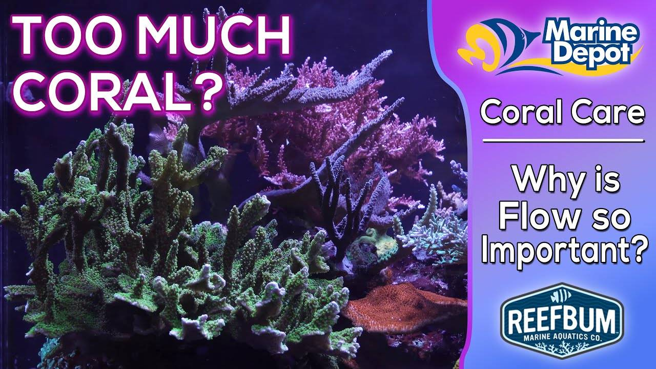 Can You Have Too Much Coral?  Why Circulation is So Important: Coral Care with Reefbum