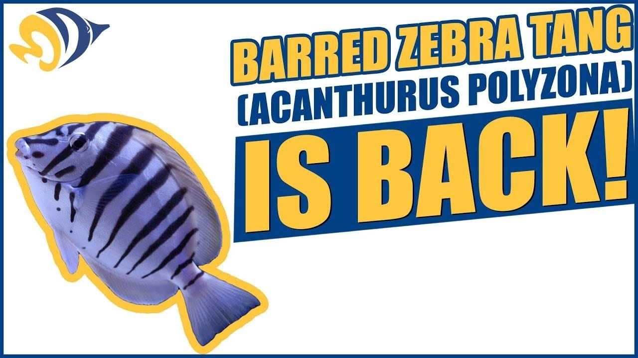 Barred Zebra Tang (Acanthurus Polyzona) is Back!