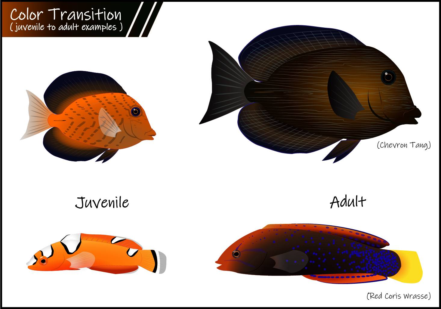 Fish coloration can change in different species when they mature.