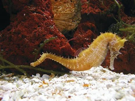 seahorse 4