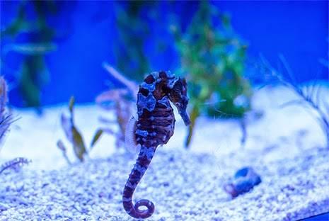 seahorse 6