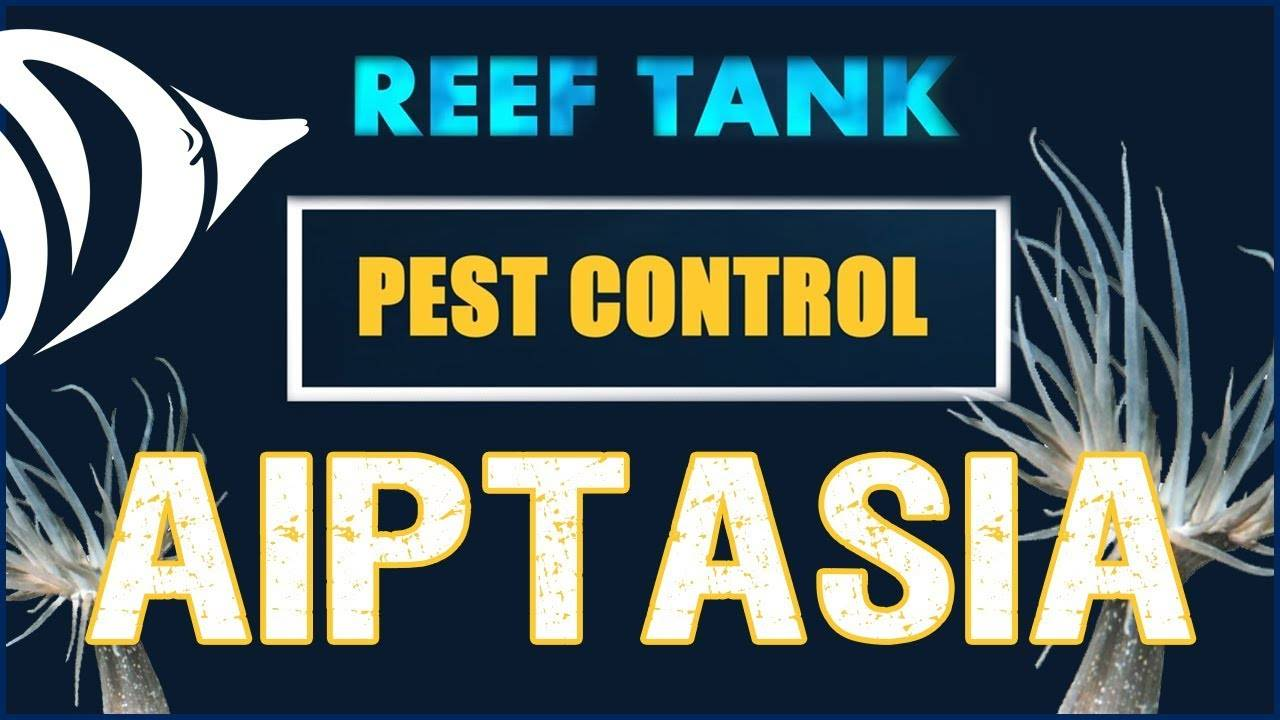AIPTASIA!!! - Reef Tank Pest Control #1: Eliminate Those Nems!