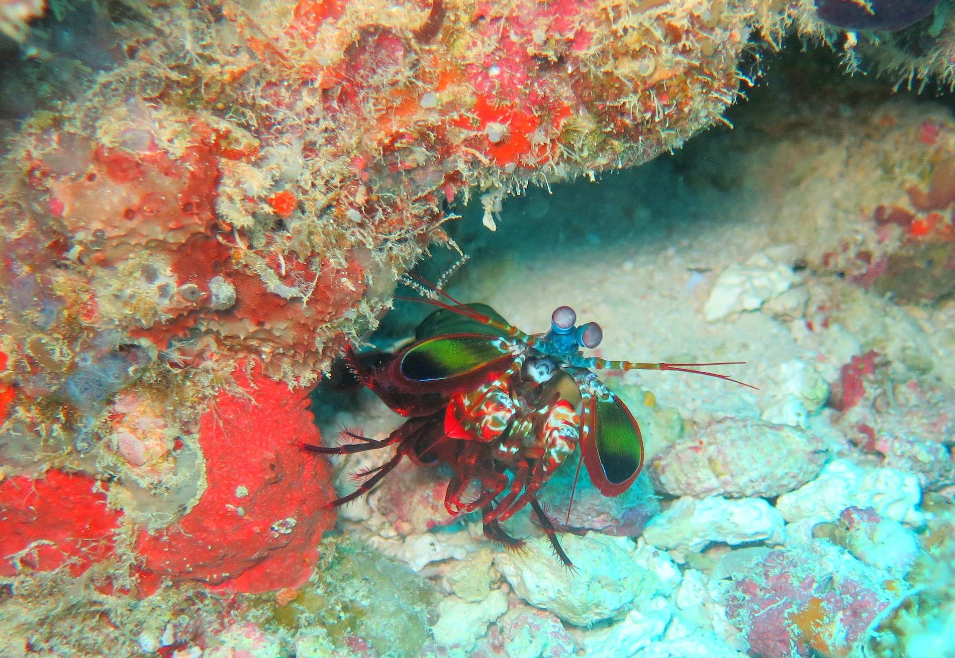 Mantis shrimp in the wild