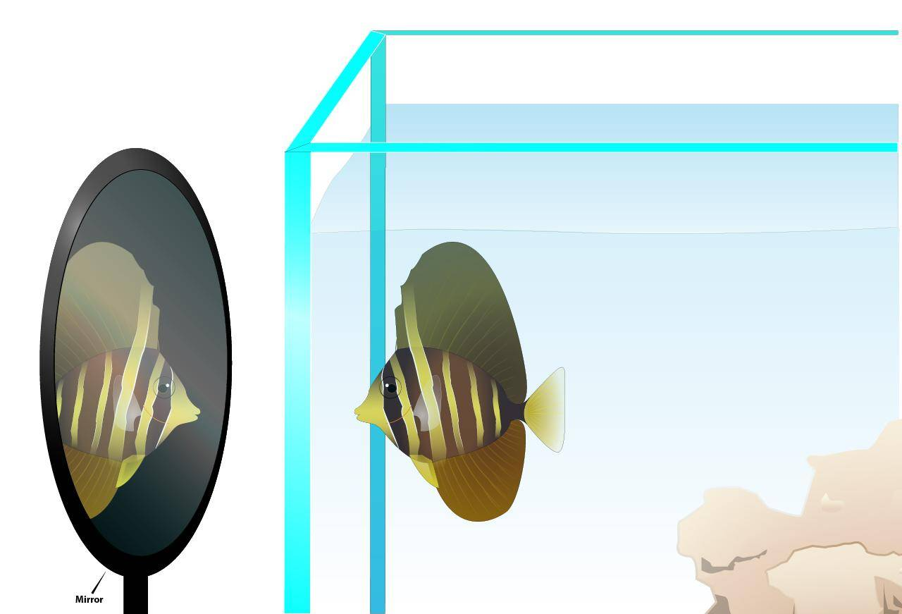 placing a mirror on the side of the tank can trigger the aggressive tank mates to attack its reflection instead of the new addition