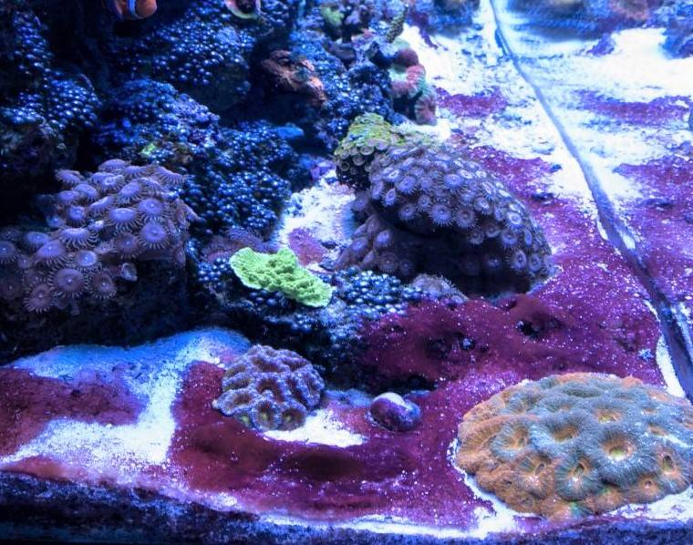 cyanobacteria, referred to as red slime algae, is a common sight, typically blankets the sand