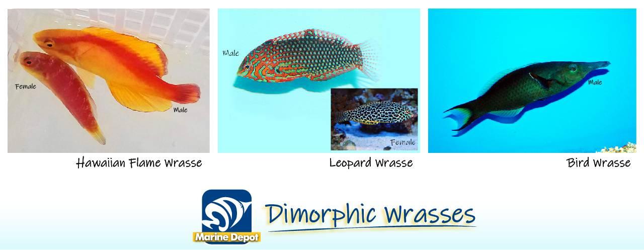 Infographic of dimorphic wrasse species examples