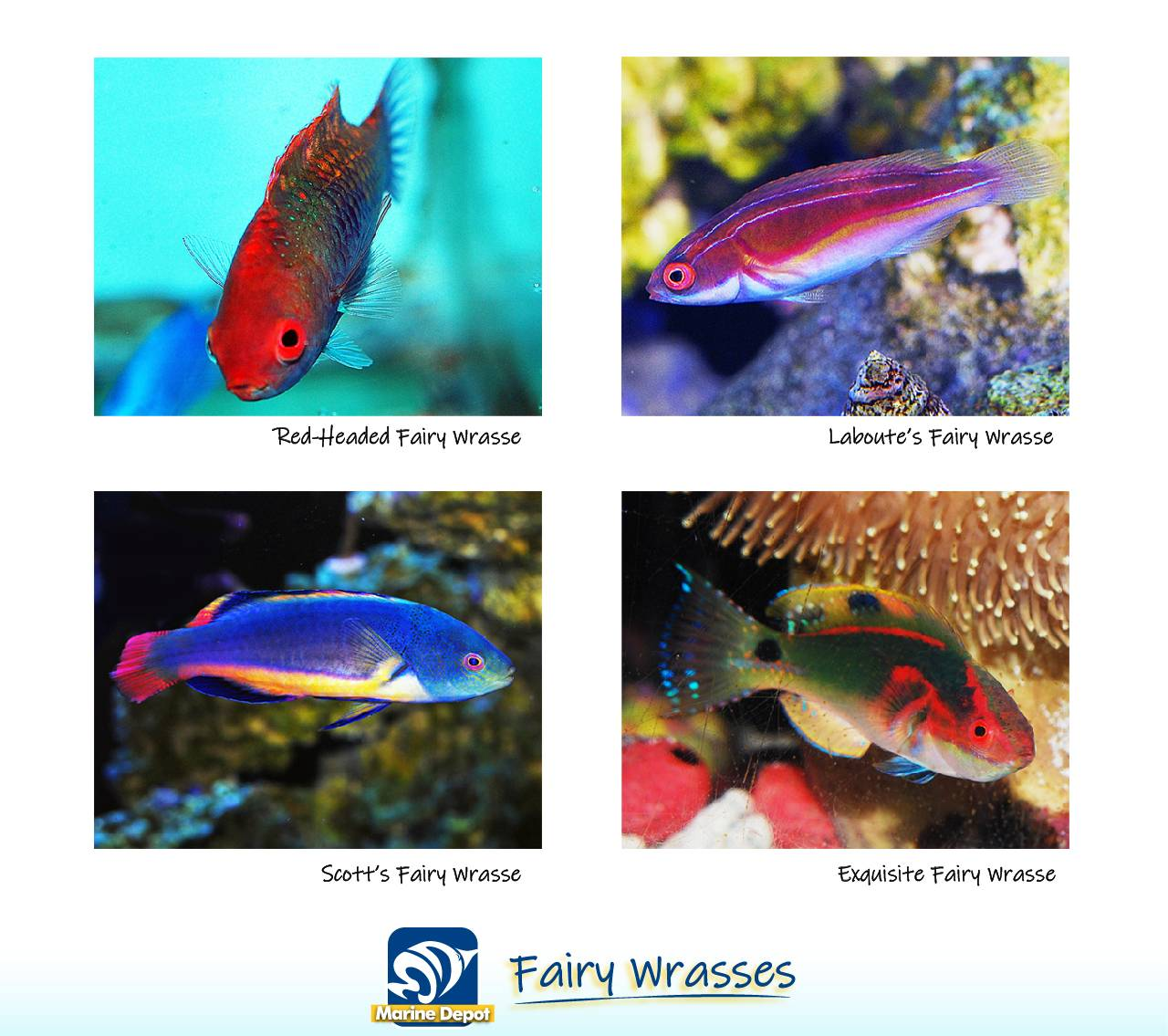 Infographic of Fairy wrasse genus and species common in the trade
